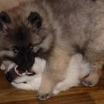 Кеесхонды отлично ладят с другими собаками