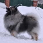 Кеесхонды отлично выдерживают зимние температуры