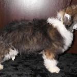 Пушистый щенок китайской хохлатой