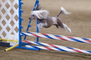 Китайские хохлатые быстро обучаются трюкам и прыжкам