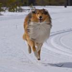 Длинношерстная колли на зимней прогулке