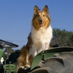 Колли за рулем трактора