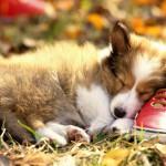Милый спящий щенок длинношерстной колли