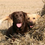 Два лабрадора на сене