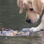 Молодой лабрадор ретривер ловит рыбу