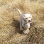 Первые уроки охоты на дичь