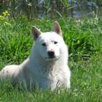 Белая лайка на траве