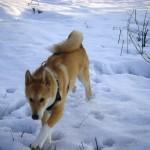 Лайка гуляет в зимнем лесу