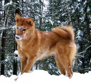 Карело-финская лайка играется на снегу