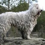 Венгерская овчарка вглядывается в даль