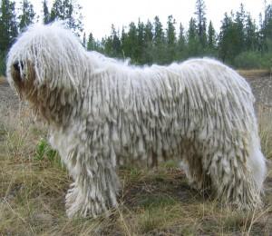 Единственная собака с дредами - комондор