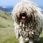 Комондор гуляет на холме