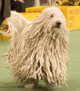 Венгерская овчарка на выставке