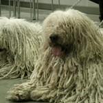 Две венгерские овчарки