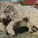 венгерская овчарка бежит