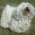 Белоснежная венгерская овчарка