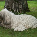 Комондор отдыхает под деревом