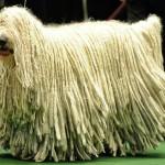 Венгерская овчарка с шикарной шевелюрой