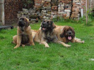 Семейство леонбергов на траве