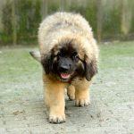Лохматый щенок леонбергера