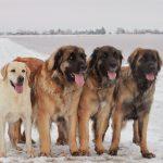 Леонбергеры на снегу