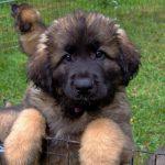 Милый щенок леонбергера
