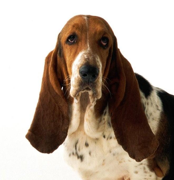 Собака Бассет-хаунд (10 фото): плюсы и минусы, описание ... | 680x660